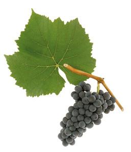 Pinot Noir (Blauer Burgunder)