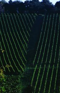 Weingärten in der Südsteiermark