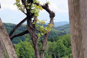Weinstock in der Südsteiermark