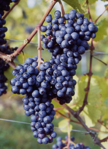 Zweigelt grape