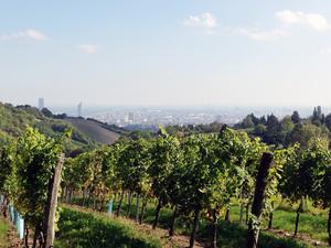 Weingärten in Wien