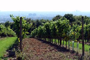 Wien Weingarten