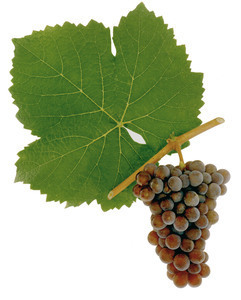 Grauburgunder (Pinot Gris, Ruländer)